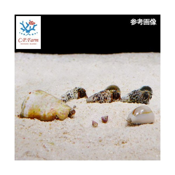 C.P.Farm直送 石垣島産おすすめクリーナー・マガキガイセット(貝・ヤドカリ) 30cm水槽用(0.36個口相当)別途送料|chanet