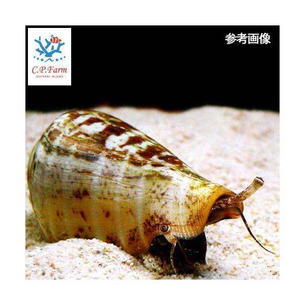 C.P.Farm直送(海水魚 貝)石垣島産 マガキガイ 殻長約5〜6cm 10個体(0.24個口相当)別途送料 海水 クリーナー|chanet