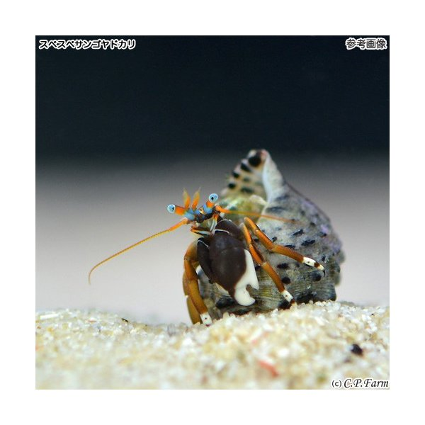 C.P.Farm直送 石垣島産 サンゴ礁ヤドカリミックス 100匹(0.24個口相当)別途送料 海水 サンゴ|chanet|02