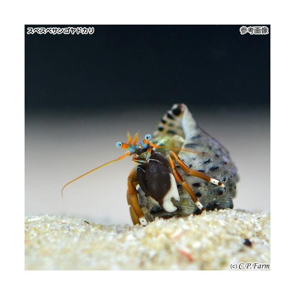 C.P.Farm直送 石垣島産 サンゴ礁ヤドカリミックス 30匹(0.24個口相当)別途送料 海水 サンゴ|chanet|02