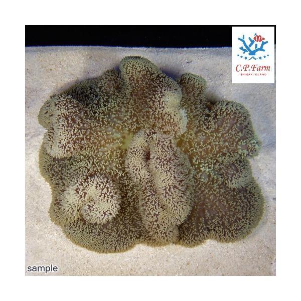 C.P.Farm直送 石垣島産 ハタゴイソギンチャク 約25〜30cm(0.6個口相当)別途送料 海水 無脊椎|chanet|02