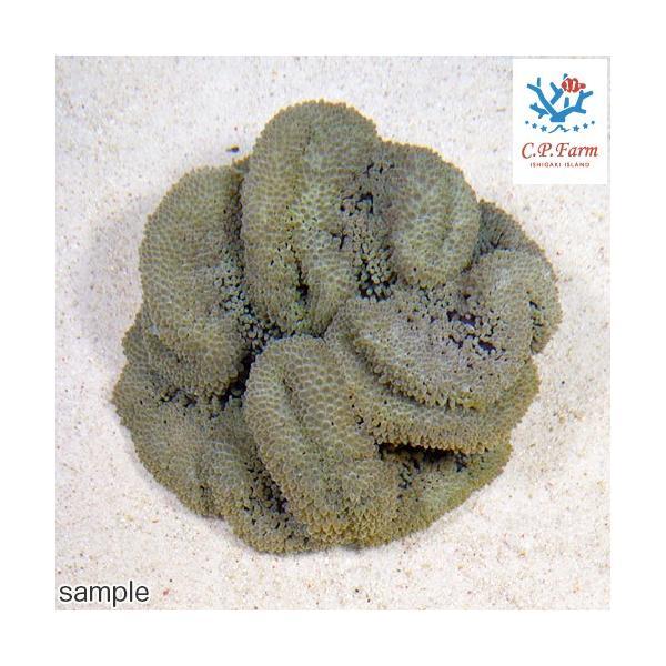 C.P.Farm直送 石垣島産 ハタゴイソギンチャク 約15〜20cm(0.5個口相当)別途送料 海水 無脊椎|chanet|02