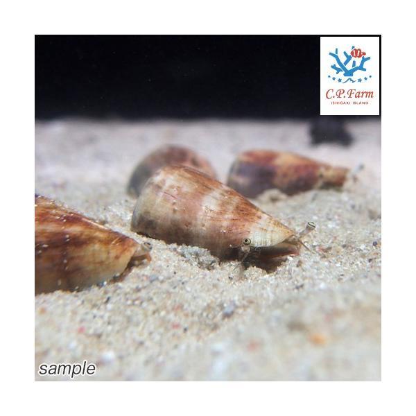 C.P.Farm直送(海水魚 貝)石垣島産 マガキガイ 殻長約4〜5cm 3個体(0.12個口相当)別途送料 海水 クリーナー|chanet