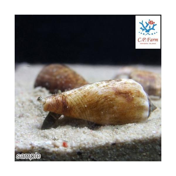 C.P.Farm直送(海水魚 貝)石垣島産 マガキガイ 殻長約4〜5cm 3個体(0.12個口相当)別途送料 海水 クリーナー|chanet|02