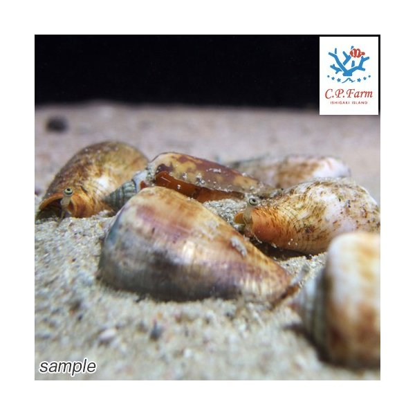 C.P.Farm直送(海水魚 貝)石垣島産 マガキガイ 殻長約4〜5cm 3個体(0.12個口相当)別途送料 海水 クリーナー|chanet|03