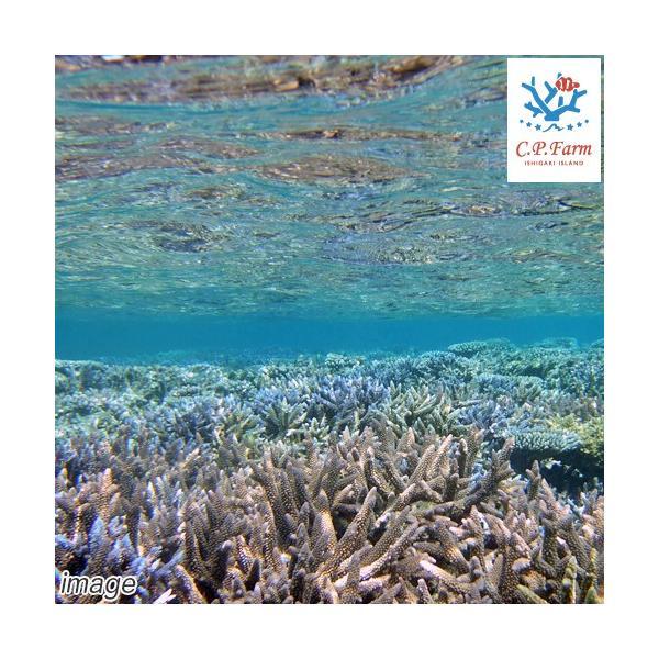 C.P.Farm直送(海水魚)石垣島産 天然海水 5L(0.32個口相当)別途送料 海水|chanet|02