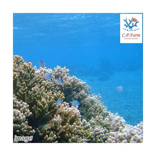 C.P.Farm直送(海水魚)石垣島産 天然海水 5L(0.32個口相当)別途送料 海水|chanet|03