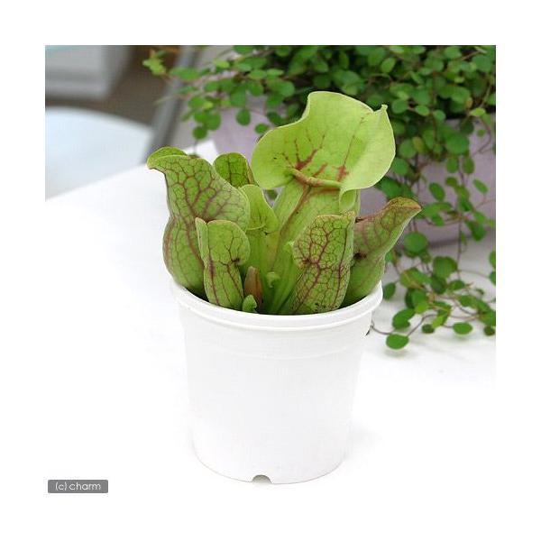 (食虫植物)サラセニア プルプレアssp.ベノーサ 3号(1ポット)|chanet