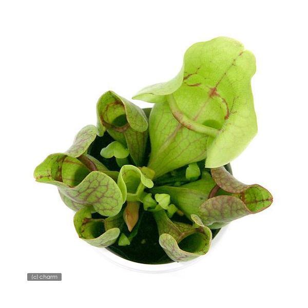 (食虫植物)サラセニア プルプレアssp.ベノーサ 3号(1ポット)|chanet|02