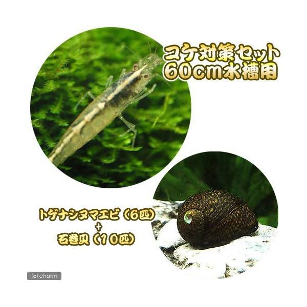 (エビ・貝)コケ対策セット 60cm水槽用 トゲナシヌマエビ(6匹) + 石巻貝(10匹) 北海道・九州航空便要保温|chanet