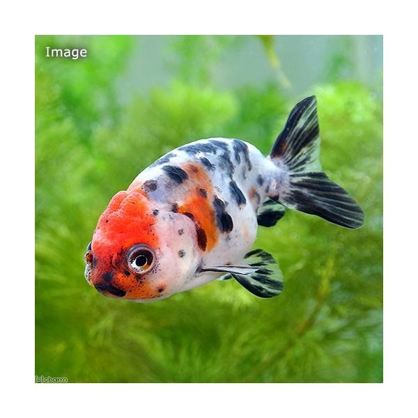 |(国産金魚)江戸錦 志村養魚場産(1匹)