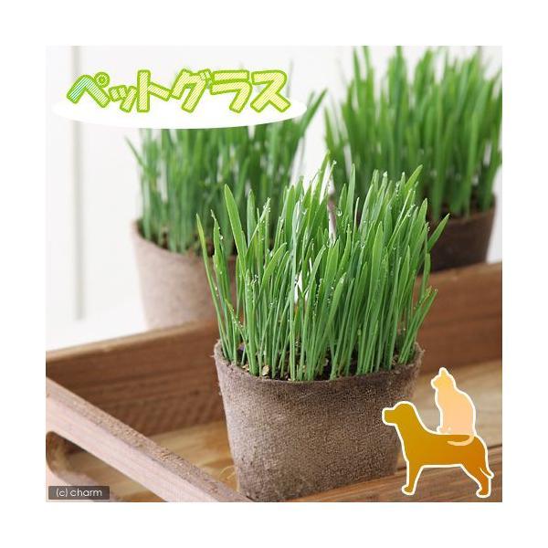 (観葉植物)ペットグラス 猫草 ネコちゃんの草 燕麦 直径8cmECOポット植え(無農薬)(1ポット)|chanet