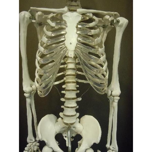 模型 骨 人体