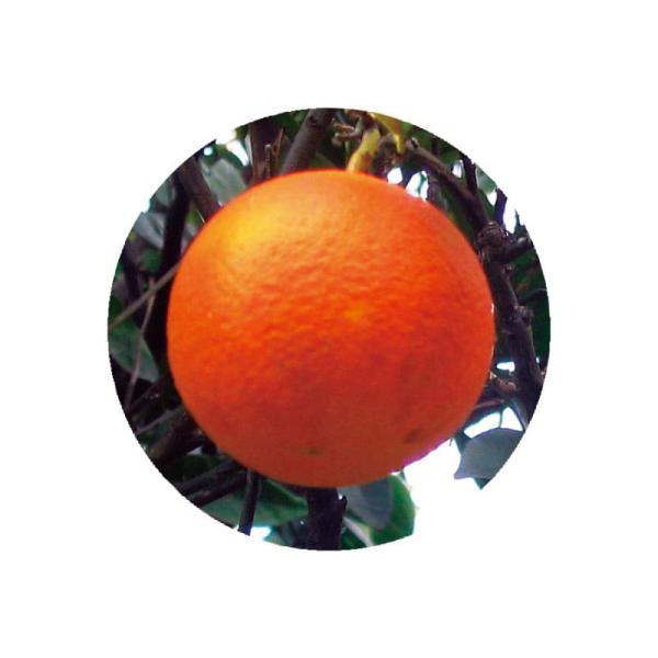 オレンジスイート アロマオイル 精油 エッセンシャルオイル 生活の木 3ml|cinnamonleaf|02