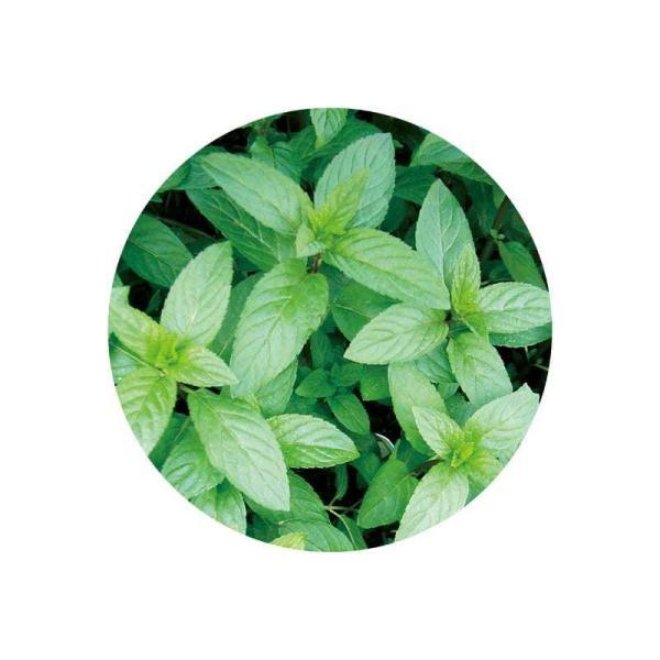 ペパーミント アロマオイル 精油 エッセンシャルオイル 生活の木 10ml|cinnamonleaf|02