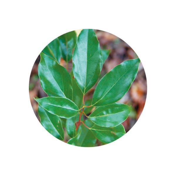 ホーリーフ(芳樟) アロマオイル 精油 エッセンシャルオイル 生活の木 3ml |cinnamonleaf|02