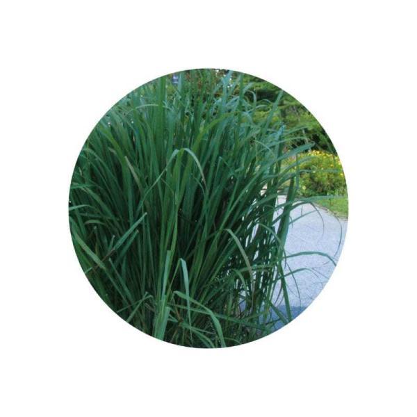 レモングラス アロマオイル 精油 エッセンシャルオイル 東インド型 生活の木 3ml cinnamonleaf 02