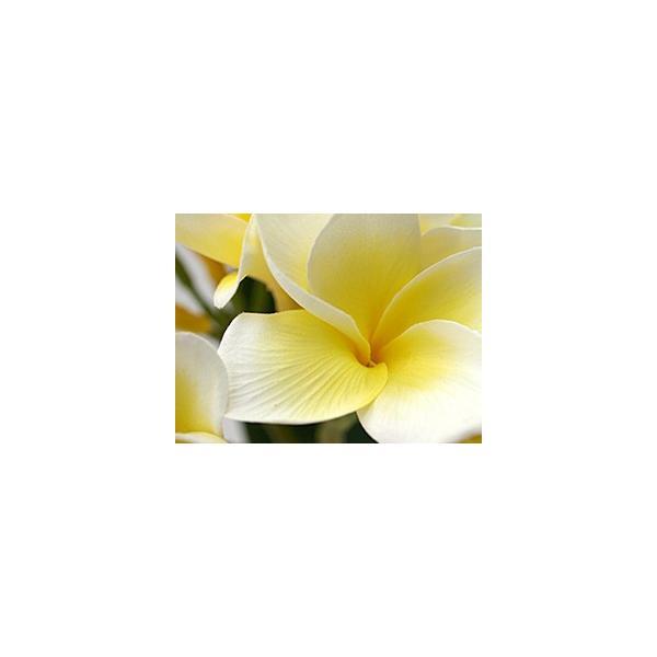 フェイクフラワー プルメリア(枝葉付)(イエロー)   南国 トロピカル バリ雑貨 ハワイ バリ雑貨 インテリア ココバリ|cocobari|03