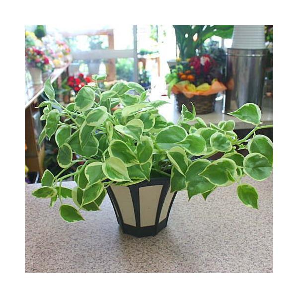 ペペロミア セルペンス 5号鉢植え(吊り鉢タイプ)
