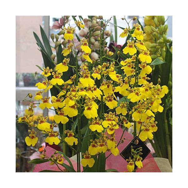 オンシジューム(オンシジウム)3本立て 鉢植え 黄色い蘭の花|crossrey-style