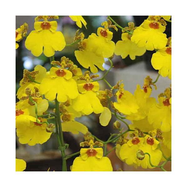 オンシジューム(オンシジウム)3本立て 鉢植え 黄色い蘭の花|crossrey-style|02