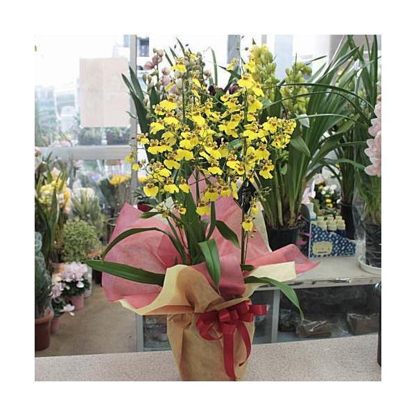 オンシジューム(オンシジウム)3本立て 鉢植え 黄色い蘭の花|crossrey-style|03
