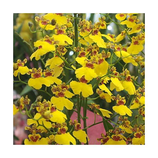 オンシジューム(オンシジウム)3本立て 鉢植え 黄色い蘭の花|crossrey-style|04