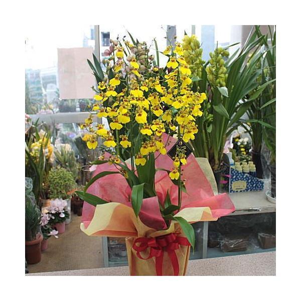 オンシジューム(オンシジウム)3本立て 鉢植え 黄色い蘭の花|crossrey-style|05