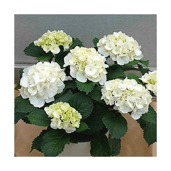 アジサイ(あじさい) 鉢植え 白色系 5号 かご付き 誕生日プレゼントや退職お祝いなど花ギフト|crossrey-style
