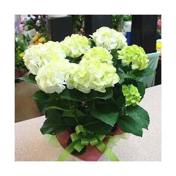 アジサイ(あじさい) 鉢植え 白色系 5号 かご付き 誕生日プレゼントや退職お祝いなど花ギフト|crossrey-style|02
