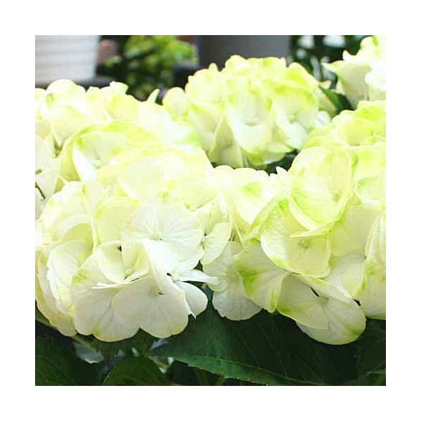 アジサイ(あじさい) 鉢植え 白色系 5号 かご付き 誕生日プレゼントや退職お祝いなど花ギフト|crossrey-style|03