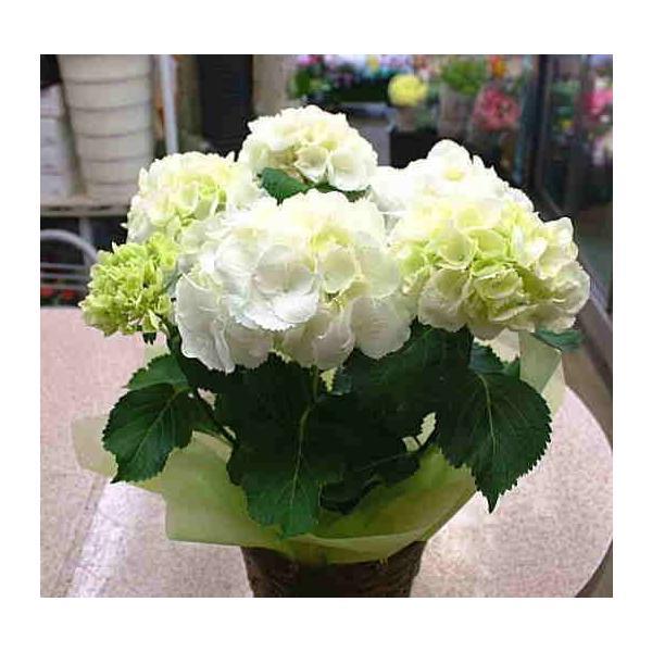 アジサイ(あじさい) 鉢植え 白色系 5号 かご付き 誕生日プレゼントや退職お祝いなど花ギフト|crossrey-style|04