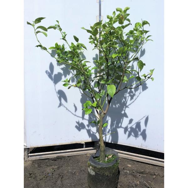 レモンの木 ビアフランカ 約1.3m 現品発送 特大株 植木苗木 トゲなし檸檬の木 常緑樹 観葉植物 鉢植えに 父の日 2021 送料無料