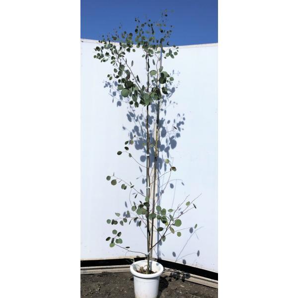 鉢植えポポラス 丸葉ユーカリ 約2.2m 現品発送 特大株 植木苗木 丸葉のユーカリの木 常緑樹 送料無料