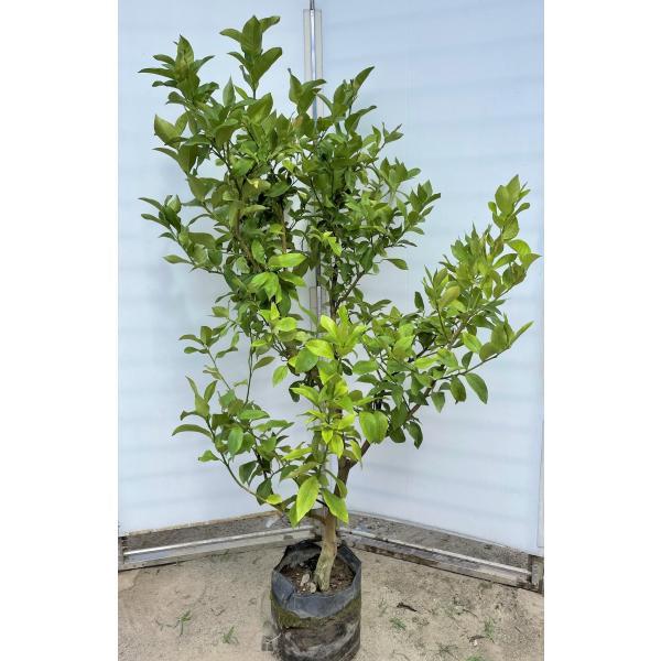 レモンの木 ビアフランカ 約1.7m 現品発送 特大株 植木苗木 トゲなし檸檬の木 常緑樹 観葉植物 鉢植えに 送料無料