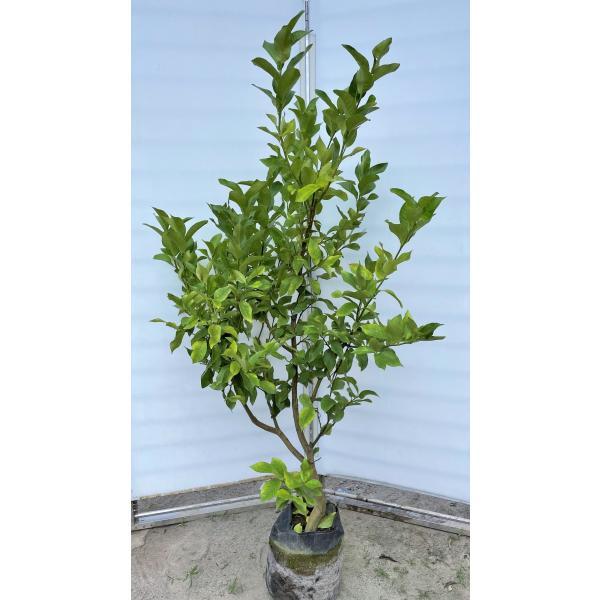 レモンの木 ビアフランカ 約1.6m 現品発送 特大株 植木苗木 トゲなし檸檬の木 常緑樹 観葉植物 鉢植えに 送料無料