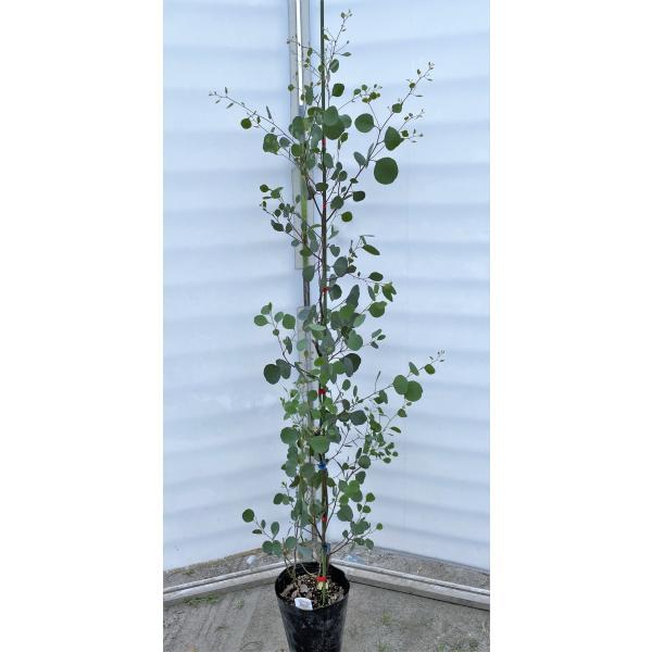 ポポラス 丸葉ユーカリ 約1.7m 現品発送 特大株 植木苗木 丸葉のユーカリの木 常緑樹 送料無料
