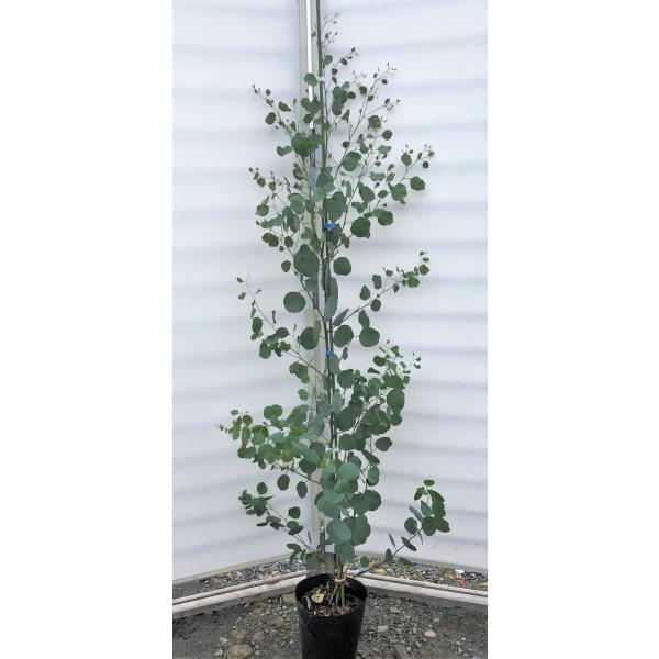 ポポラス 丸葉ユーカリ 約1.7m 特大苗木 丸葉のユーカリの木 お買い得なおまかせ株 常緑樹 送料無料