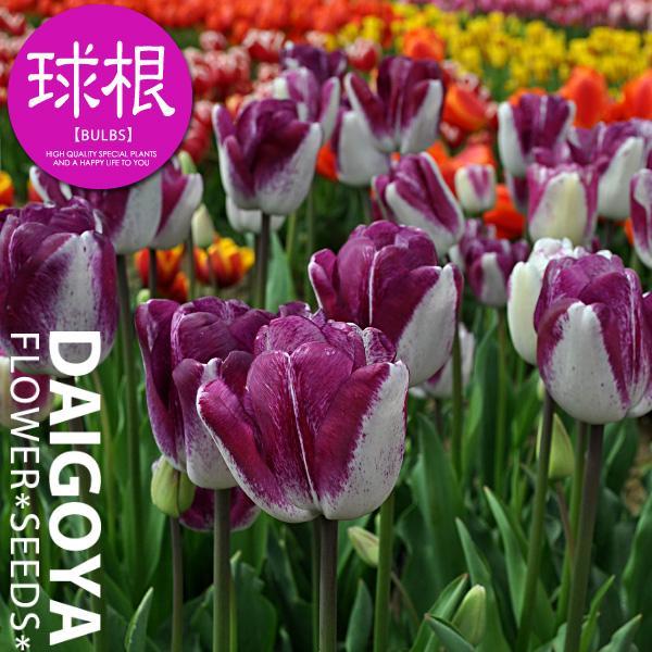 チューリップ 紫雲(白・紫/T)【球根】4球入り袋詰め 2色咲き 変わり咲き 秋植え 球根