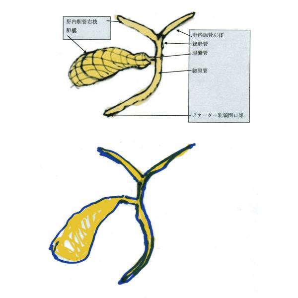 動脈静脈門脈胆道4管立体模型標準型作成キット|deepseawartergm0|12