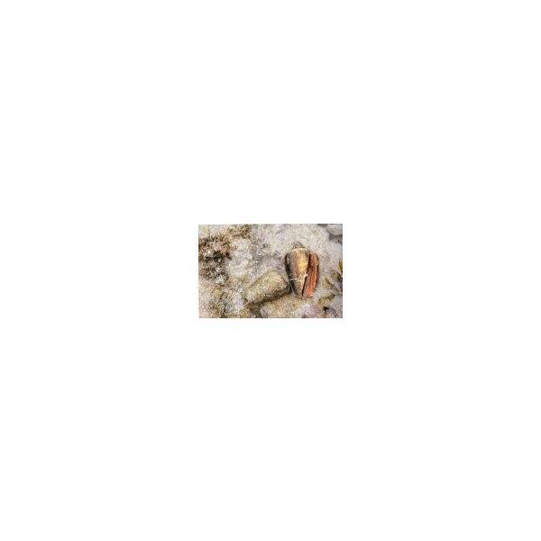 ボイルマガキ貝殻付き4800g冷凍パック|deepseawartergm0|20