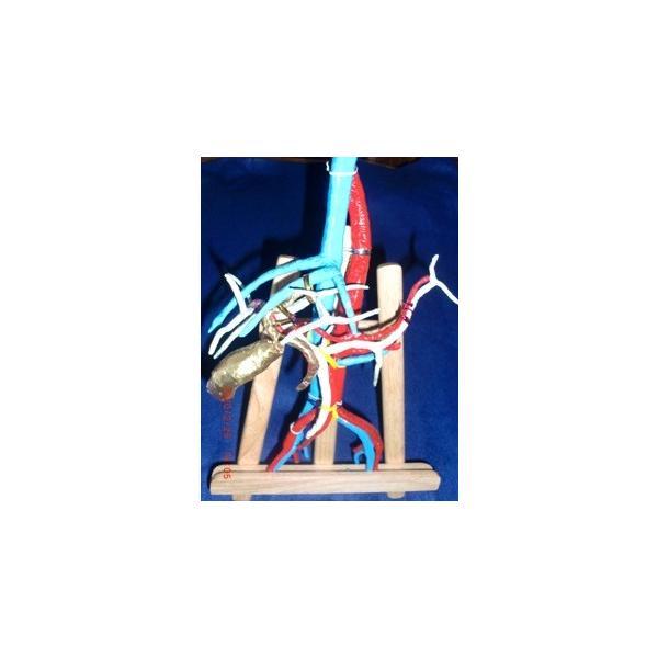 上腹部動脈静脈門脈胆道4管立体模型標準型|deepseawartergm0|11