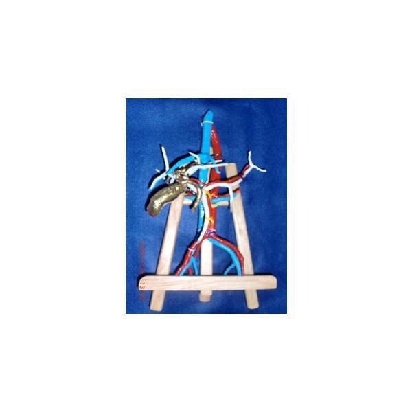 上腹部動脈静脈門脈胆道4管立体模型標準型|deepseawartergm0|10