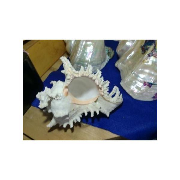 天狗貝シェルランプ素材20cm美品|deepseawartergm0|04