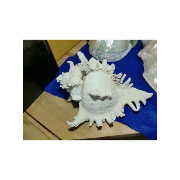 天狗貝シェルランプ素材20cm美品|deepseawartergm0|05