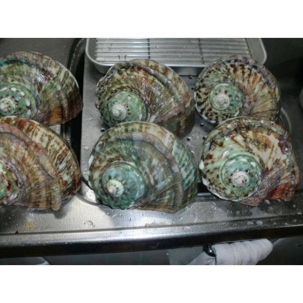 生表面磨き夜光貝殻大サイズ1012|deepseawartergm0|11