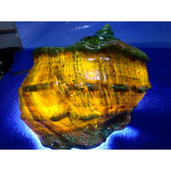 生表面磨き夜光貝殻大サイズ1012|deepseawartergm0|12