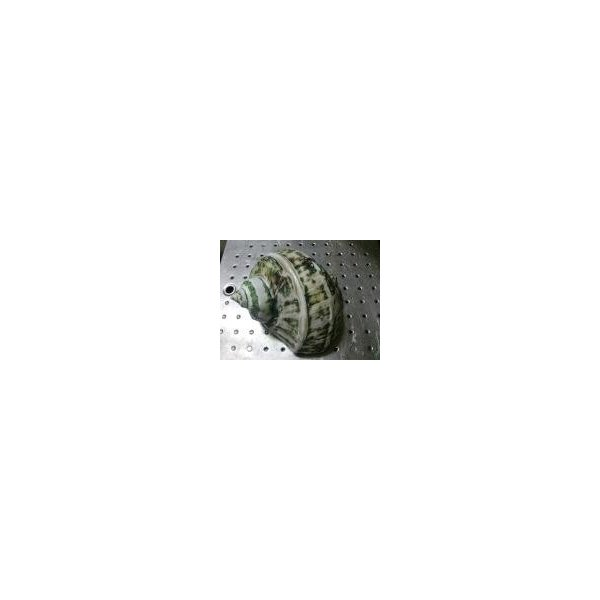 生表面磨き夜光貝殻大サイズ1012|deepseawartergm0|14