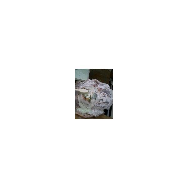 生表面磨き夜光貝殻大サイズ1012|deepseawartergm0|15