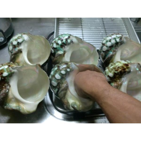 生表面磨き夜光貝殻大サイズ1012|deepseawartergm0|03